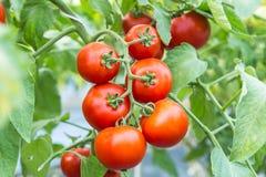 Mogen röd tomat som växer på filial i fält Royaltyfria Foton