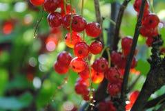 Mogen röd vinbär på en filial av en buske royaltyfri fotografi