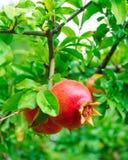 Mogen röd granatäpplefrukt på träd Arkivfoton