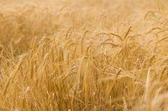 mogen rye för fält Arkivbild