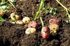 Mogen skörd av potatisar Royaltyfri Foto