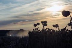 Mogen solros för modern skördetröska på solnedgången royaltyfri fotografi