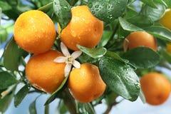 mogen tangerinestree för filial fotografering för bildbyråer