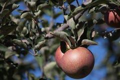 mogen tree för äpplen Arkivbilder