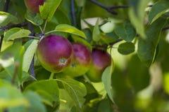 mogen tree för äpplen royaltyfri foto