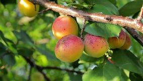 mogen tree för aprikosar arkivfilmer