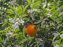 mogen tree f?r apelsiner fotografering för bildbyråer