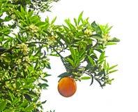 mogen tree f?r apelsiner arkivfoto