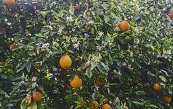 mogen tree f?r apelsiner arkivfoton