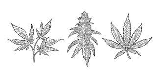 Mogen växt för marijuana med sidor och knoppar Vektorgravyrillustration Arkivbilder