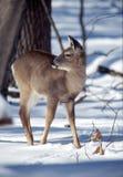 mogen whitetail för doe Arkivfoto