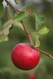 moget äpple Arkivfoton