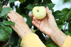 moget äpple Royaltyfri Bild