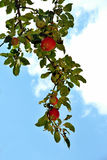 moget äpple arkivbilder