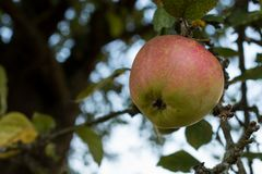 Moget äpple på en äppleträdfilial royaltyfri bild