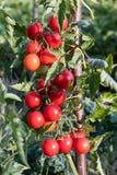 Moget behandla som ett barn tomater som växer i trädgården Arkivfoto