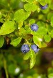 moget blåbär Royaltyfria Foton
