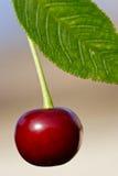 moget Cherry arkivfoton