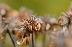 Moget frö av umbelliferous växter Heracleum Fotografering för Bildbyråer