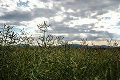 Moget frö av våldtar Fält av den gröna mognadrapsen på en molnig blå himmel i sommartid (Brassicanapusen) Royaltyfria Bilder
