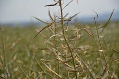 Moget frö av våldtar Fält av den gröna mognadrapsen som isoleras på en molnig blå himmel i sommartid (Brassicanapusen) Arkivbilder