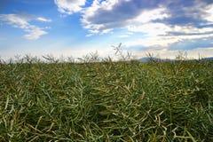 Moget frö av våldtar Fält av den gröna mognadrapsen som isoleras på en molnig blå himmel i sommartid (Brassicanapusen) Royaltyfri Foto