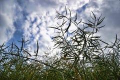 Moget frö av våldtar Fält av den gröna mognadrapsen som isoleras på en molnig blå himmel i sommartid (Brassicanapusen) Royaltyfria Bilder