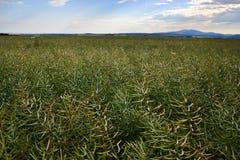 Moget frö av våldtar Fält av den gröna mognadrapsen som isoleras på en molnig blå himmel i sommartid (Brassicanapusen) Fotografering för Bildbyråer
