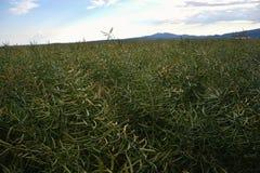 Moget frö av våldtar Fält av den gröna mognadrapsen som isoleras på en molnig blå himmel i sommartid (Brassicanapusen) Arkivfoto