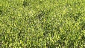 Moget frodigt gräs för gräsplan på ängen stock video
