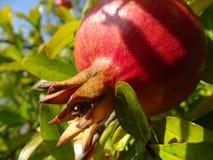 Moget granatäppleträd Royaltyfria Foton