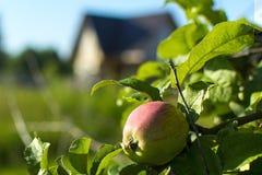 Moget guling-rött äpple på en filial fotografering för bildbyråer