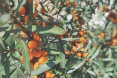 moget hav för bärfilialbuckthorn Mogna orange havsbuckthornbär på en filial med gröna sidor Havsbuckthorn på en trädclo arkivfoto