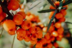 moget hav för bärfilialbuckthorn Mogna orange havsbuckthornbär på en filial med gröna sidor Havsbuckthorn på en trädclo arkivfoton
