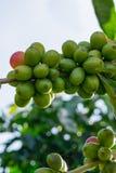 Moget kaffeträd, kaffebönor, kaffelantgård, del 5 för mocka- och Catimor kaffeträd royaltyfria bilder