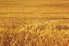 moget korn Arkivbild