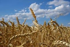 moget korn Arkivfoto