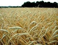 Moget korn för skörd Arkivbild