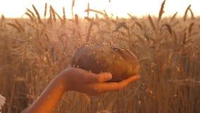 Moget korn hälls på läckert bröd l?ngsam r?relse vetekorn faller på bröd i händerna av flickan, över ett fält av stock video