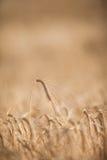 Moget korn (lat Hordeum) på ett tänt fält Arkivfoto