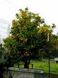 Moget mandarinträd som växer i lantgårdträdgården, Italien Grönt och härligt mandarinträd mycket av vitaminer royaltyfri foto