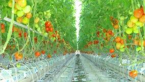 Moget naturligt växa för tomater stock video