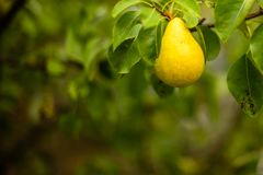 Moget päron på en filial royaltyfria foton