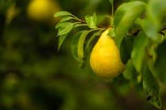 Moget päron på en filial fotografering för bildbyråer