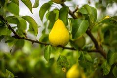 Moget päron på en filial arkivfoton