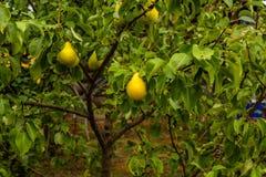 Moget päron på en filial arkivbilder