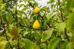 Moget päron på en filial royaltyfri bild