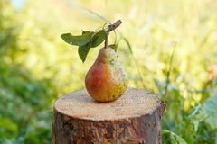 Moget päron på en stubbe arkivfoto
