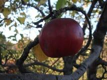 Moget rött äpple på en gul fläck på en trädfilial royaltyfri bild