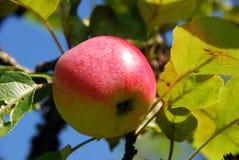 Moget rött äpple som växer på ett träd Arkivfoton